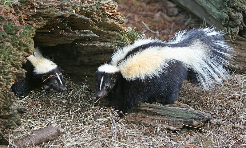 Biggest Skunk