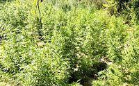 200px-Guerrilla_Cannabis