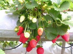 Strawberries, wikimedia