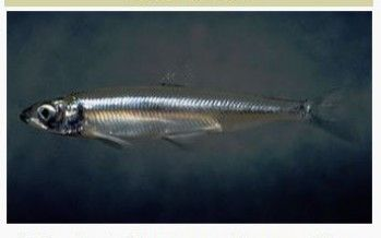 Supreme Court refuses to hook Delta smelt case