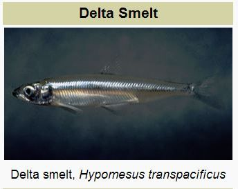 Delta smelt, wikimedia