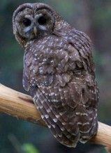 ca spotted owl 2