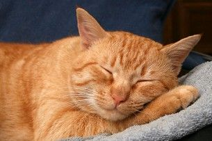 sleeping cat, wikimedia