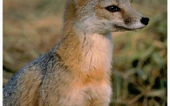 Kit fox endangers high-speed rail construction