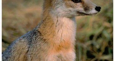 Kit fox endangers high-speed rail construction