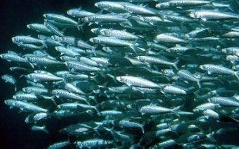 CA sardine fishing ban: Did regulators wait too long?