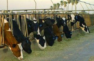 Cows dairy farm