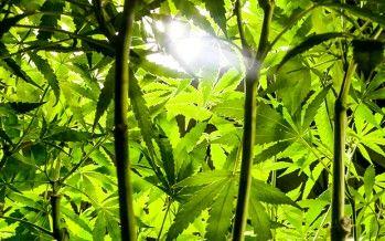 CA cities take advantage of misworded marijuana law