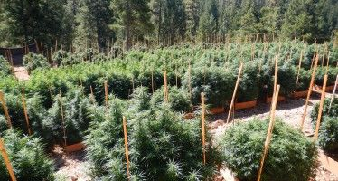 CA pot faces bureaucratic, corporate future