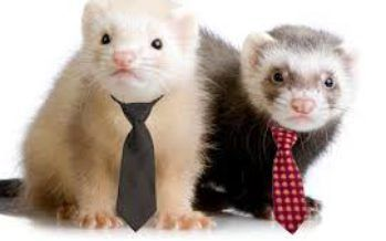 Ferret ban in California not gone just yet